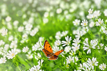 Orange Butterfly With Black Dots Scarce Copper ( Lycaena Virgaureae ) Over Flowers Stellaria Holostea (starwort, Stitchwort, Chickweed) In Sun Light