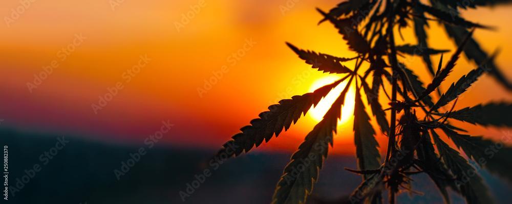 Fototapety, obrazy: Cannabis commercial grow. Concept of herbal alternative medicine, CBD oil