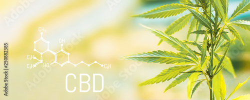 Poster Plant Organic cannabis leaf CBD. Concept of herbal alternative medicine, CBD oil, pharmaceptical industry. Ecological and biological hemp plant