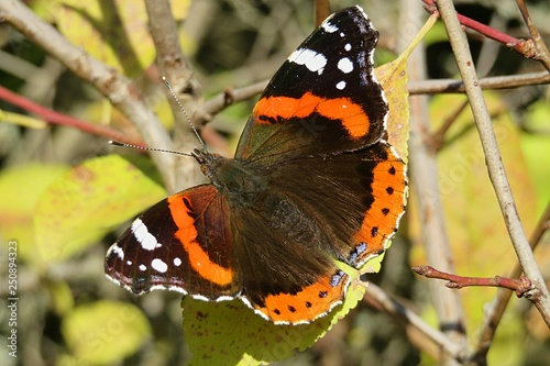 Beautiful admiral butterfly in a garden
