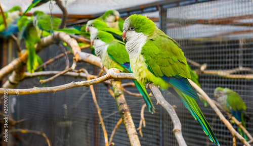 Fotomural portrait of a monk parakeet with many parakeets on a branch in the background, p