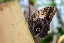 Beautiful Owl Butterfly (Calig...