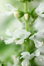 White Basil Flowers.