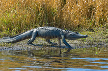 American Alligator Walking
