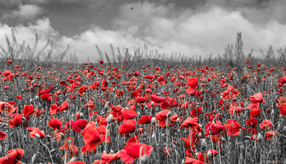 Fototapeta Field of red poppies  - obraz na płótnie