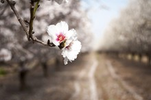 White Almond Trees In Bloom, Blossoming Almonds, Rows Of Almond Trees In The Garden Against The Blue Sky.