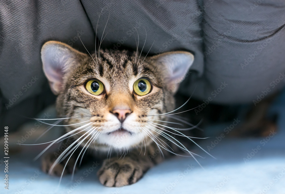 Fototapeta A timid domestic shorthair tabby cat hiding under a blanket