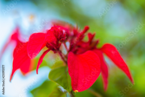 Photo Red Ashanti blood flower (Mussaenda erythrophylla) green leaves background