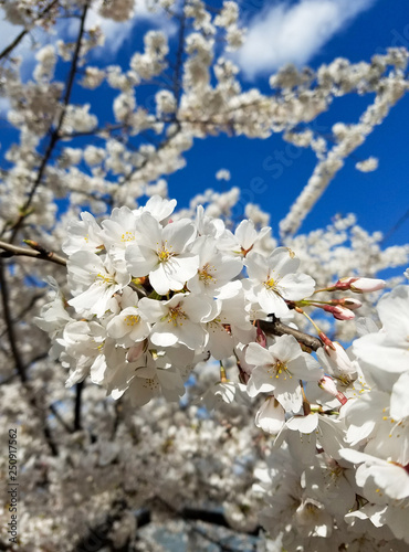 Fotografie, Obraz  Blooming white cherry tree flowers in spring against a blue sky.