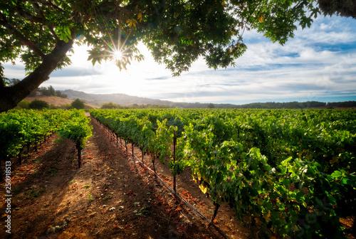 Fotografía  Pinot Noir Vineyard of Sonoma
