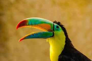Portret pięknego kolorowego Tukana Tęczowego