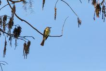 Cedar Waxwing Bird Bombycilla Cedrorum Perches On A Tree