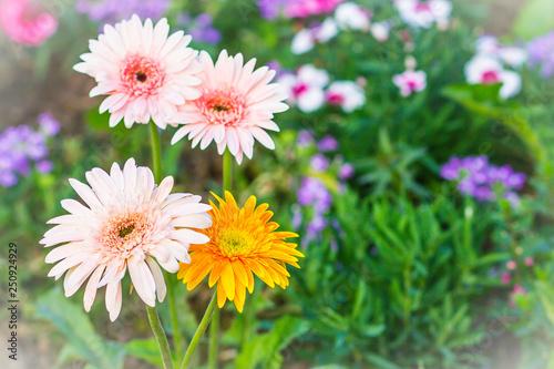 Soft pink and yellow hybrid Gerbera or Barberton daisy flowers (Gerbera jamesonii hybrida) on the flowerbed Canvas Print