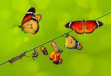 A Farm For Butterflies, Pupae ...