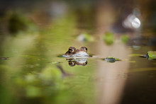 Portrait Of Frog In Pond