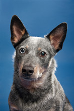 Studio Shot Of Dog With Different Color Eyes