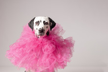 Cute Dalmatian Dog Wearing A Tulle Pink Collar In Front Of White. Copy Space
