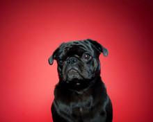 Studio Portrait Of Pug