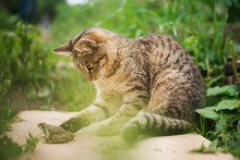 Cat Playing With Frog In Garden