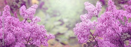 Papiers peints Lilac Blooming Lilac, spring background, banner