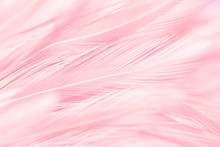 Pink Bird Feathers In Soft And...
