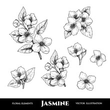 Vector Jasmine Flowers. Set Of...