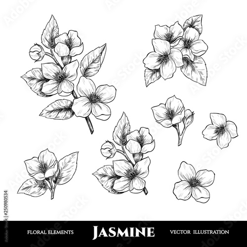 Vector jasmine flowers. Set of floral elements. Vintage style Poster Mural XXL