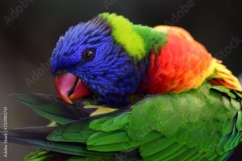 Obraz Rainbow lorikeet (trichoglossus moluccanus) - fototapety do salonu