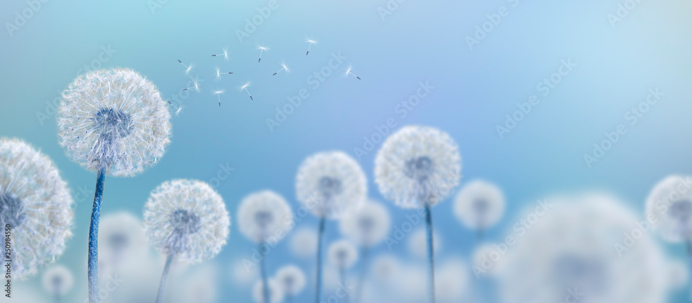 Fototapety, obrazy: white dandelions on blue background