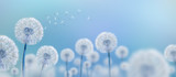 Fototapeta Puff-ball - white dandelions on blue background