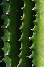 Detail Of Spikes Of Cactus Euphorbia Trigona, Also Called African Milk Tree Or Cathedral Cactus