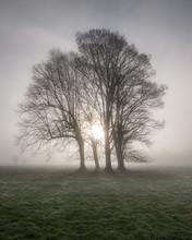 Old Oak Tree An English Misty ...