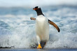 Gentoo penguin coming on shore from a stormy Atlantic ocean