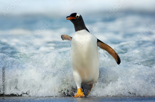 Spoed Fotobehang Pinguin Gentoo penguin coming on shore from a stormy Atlantic ocean