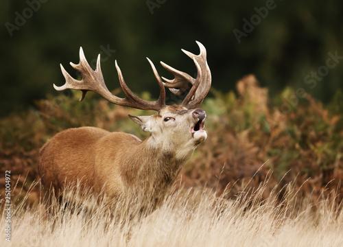 Poster Deer Red deer stag bellowing during rutting season