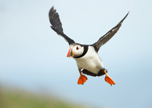Close Up Of Atlantic Puffin In...