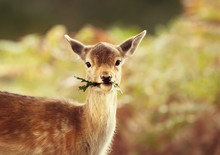 Close-up Of A Fallow Deer Fawn Eating Leaves
