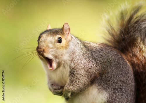 Spoed Foto op Canvas Eekhoorn Close up of a grey squirrel yawning