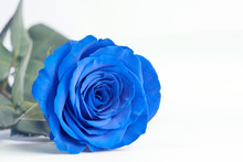 Blue Rose Close Up On A White ...