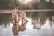 Canaan Kanaan Dog Im Wasser