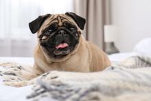 Happy Cute Pug Dog On Bed Indoors