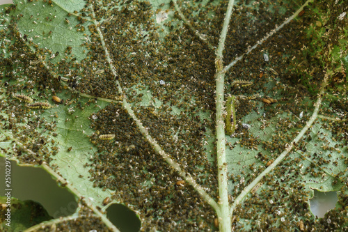 Pests, Cotton Aphid, Cotton Bollworm, Pseudococcidae and Thrips palmi karny on a Canvas Print