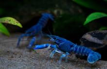 Blue Crayfish Procambarus Alle...