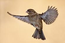 Female Sparrow, Passer Domesti...