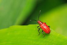 Close Up Of Scarlet Lily Beetle On Leaf