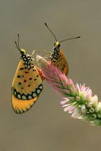 Two Butterflies On A Flower, I...