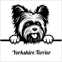 Yorkshire Terrier - Peeking Do...
