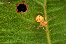 Spider On A Leaf, West Borneo,...