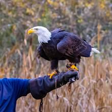 Bald Eagle Landing On A Glove, British Columbia, Canada