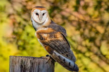 Barn Owl Sitting On A Wooden P...